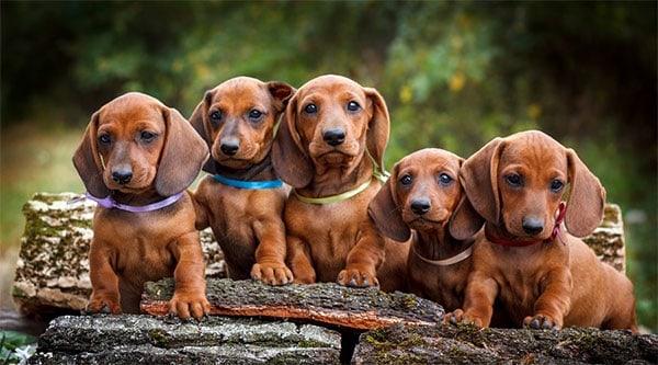 do dachshunds have webbed feet?