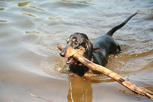 Dachshunds fetching stick