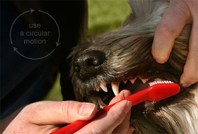 How often should you brush your dogs teeth