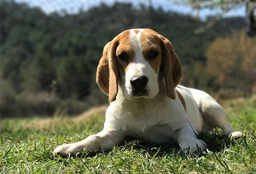 Do Beagles Shed?