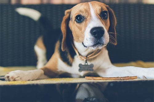 beagles shedding