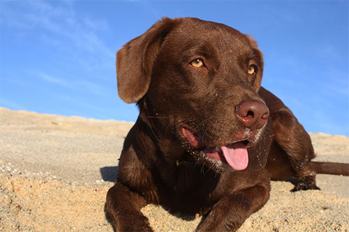 Do Chocolate Labs Shed?