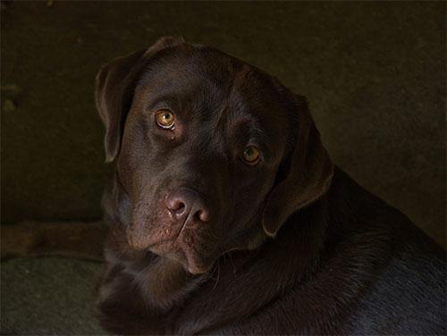 Do Chocolate Labradors Shed?