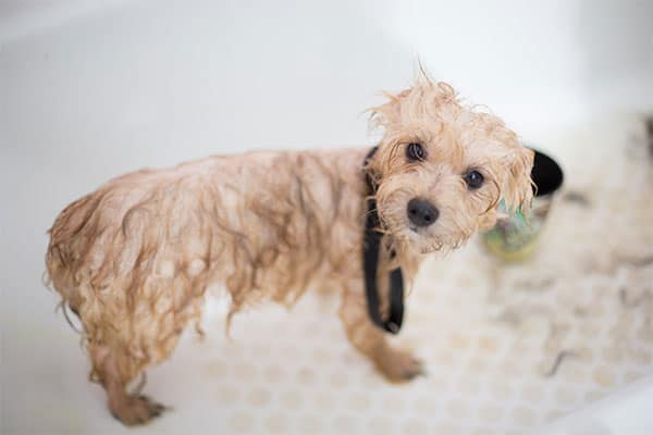 a dog after a bath