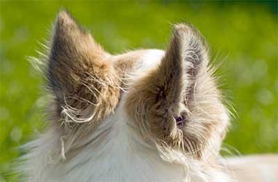 Dogs Ears