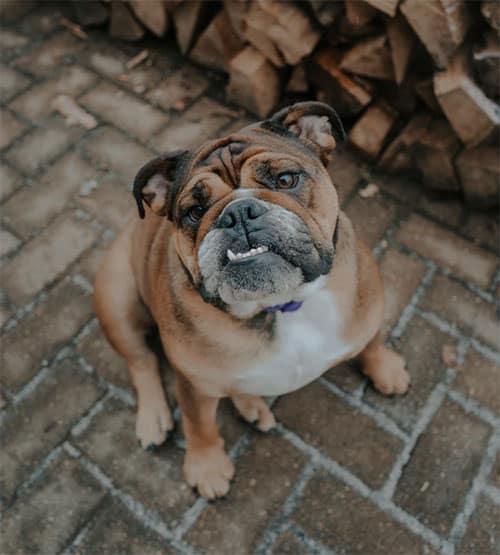 Do English Bulldogs Shed?
