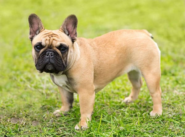 can french bulldogs fly