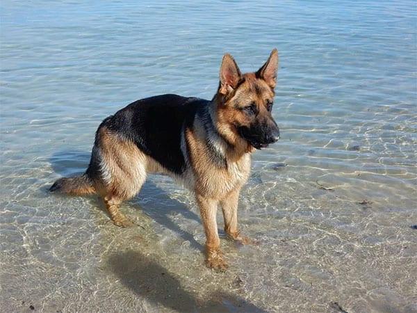 german shepherd on beach