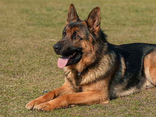 Do German Shepherds Shed?