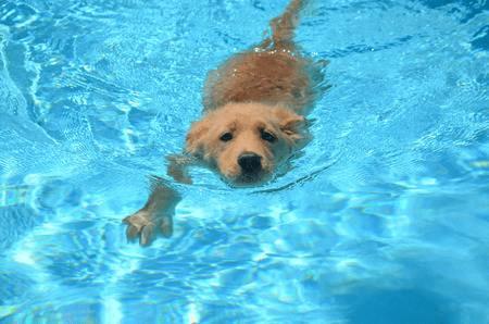 can golden retrievers swim