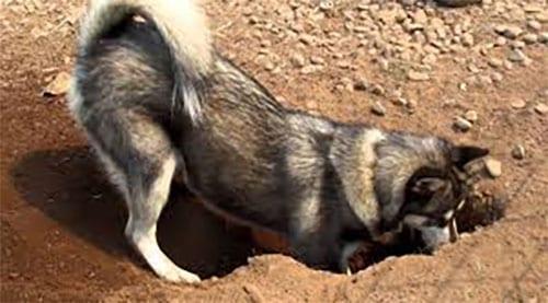 husky digging