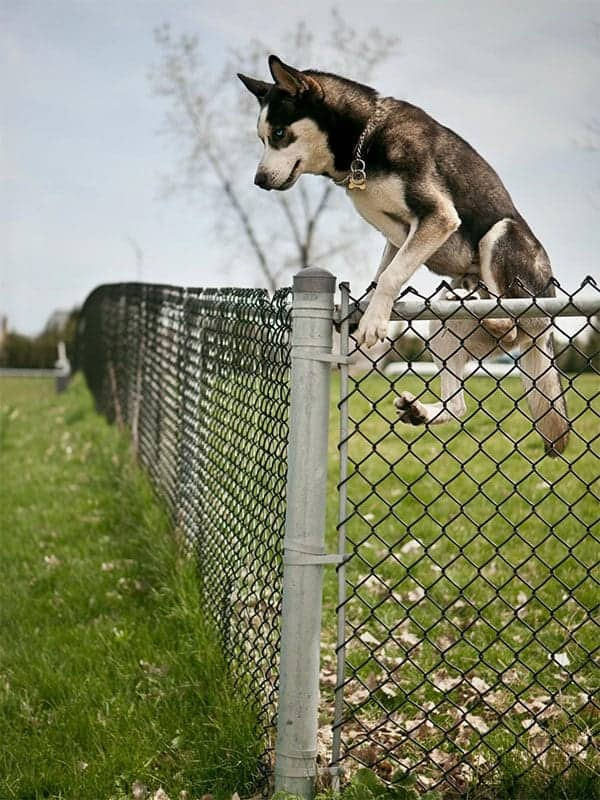 How high can huskies jump?