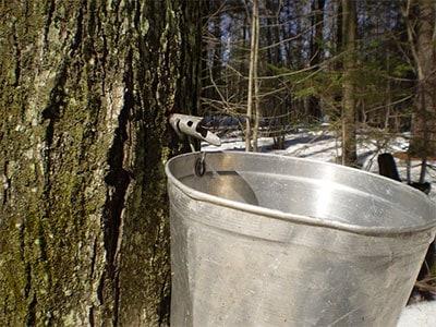Maple Tree Sap