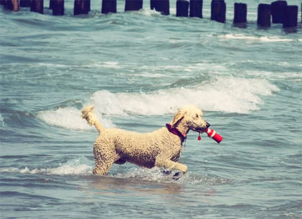 Do Poodles Have Webbed Feet?