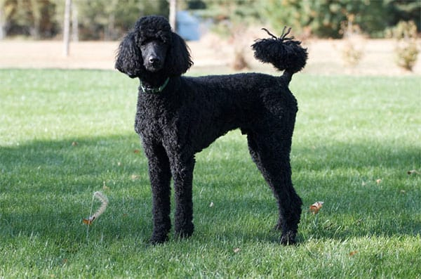 do poodles have webbed feet