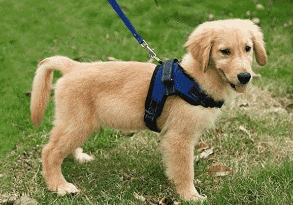 Puppy on a Harness