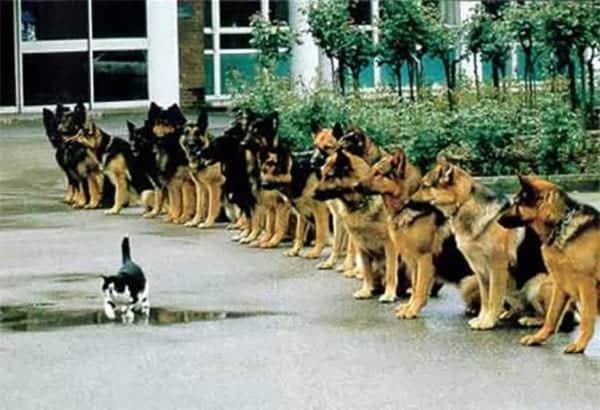 training german shepard